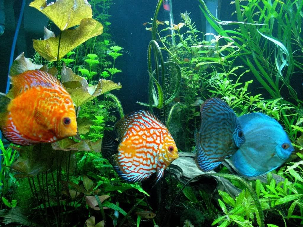How To Keep A Fish Tank Data Componenttype Modal Pin Aquarium Fish Discus Fish Tropical Fish