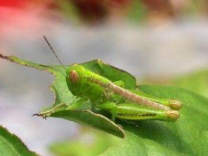 6dbdf244a0c429dbb6ac53b1d6217cd8 - How To Get Rid Of Grasshoppers On My Plants