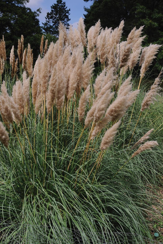 13 Terrific Tall Grasses Ornamental Grass Landscape Tall Ornamental Grasses Grasses Landscaping