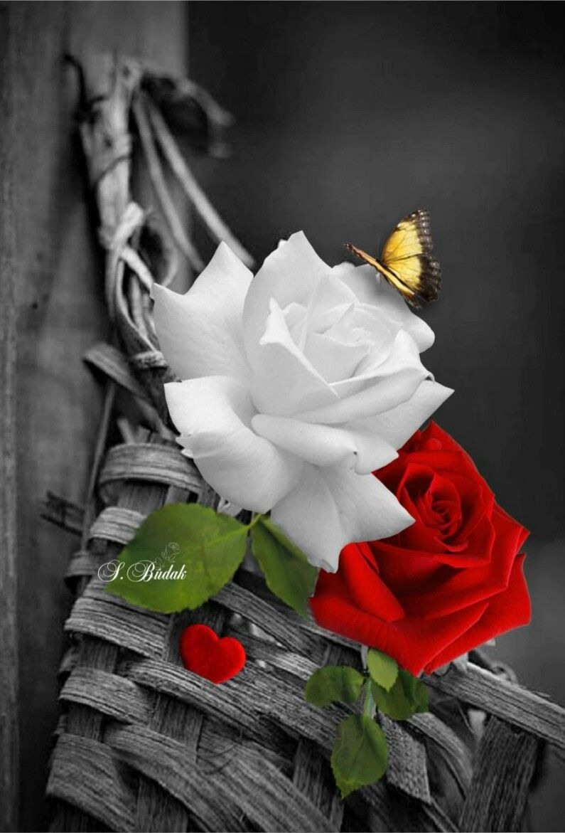Red rose with white rose beautiful flowers red roses white