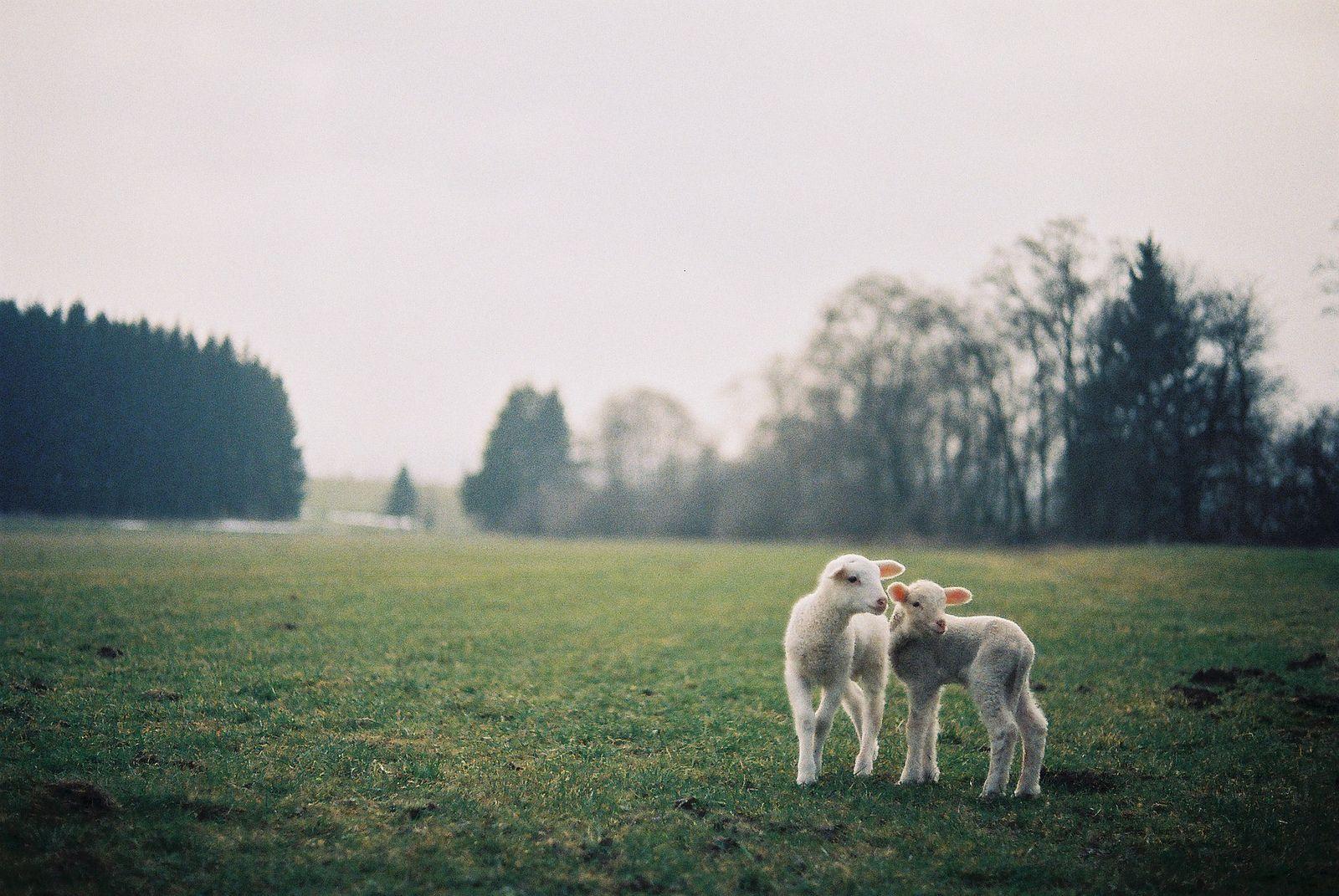 #sheeps by skinny.seba