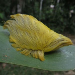 However, he shares his look with the bizarre-looking caterpillar of the flannel moth. The Trump-like critter was photographed by conservation biologist Phil Torres and wildlife photographer Jeff Cremer during a recent trek through Peru. We put the picture [on] our Twitter and Facebook page and immediately people started comparing it to Donald Trump, Torres said. He cautioned that the caterpillar can release a venom into your skin if you touch it.