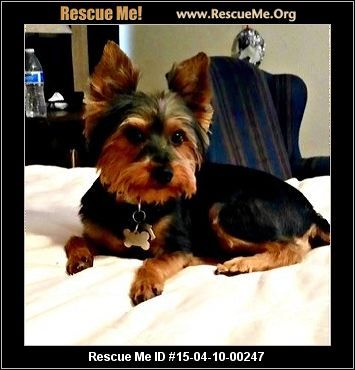 00247trixie Female Yorkie Age Young Adult This Beautiful Girl Is Trixie A Loving 12lb Akc Yorkshire Terrier At Yorkie Yorkie Dogs Dog Adoption