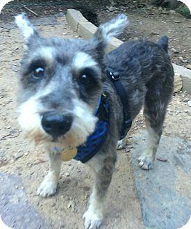 East Brunswick Nj Miniature Schnauzer Yorkie Yorkshire Terrier Mix Meet Bessie A Puppy For Adoption In Tenn Will Tr Kitten Adoption Pets Puppy Adoption