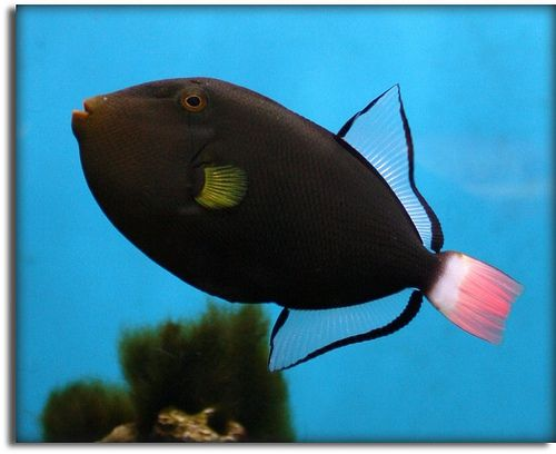 Pink Tail Triggerfish Tropical Fish Tanks Tropical Fish Fish