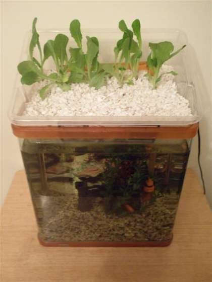 Small aquaponic unit on aquaponics and fish for Hydroponic fish tank