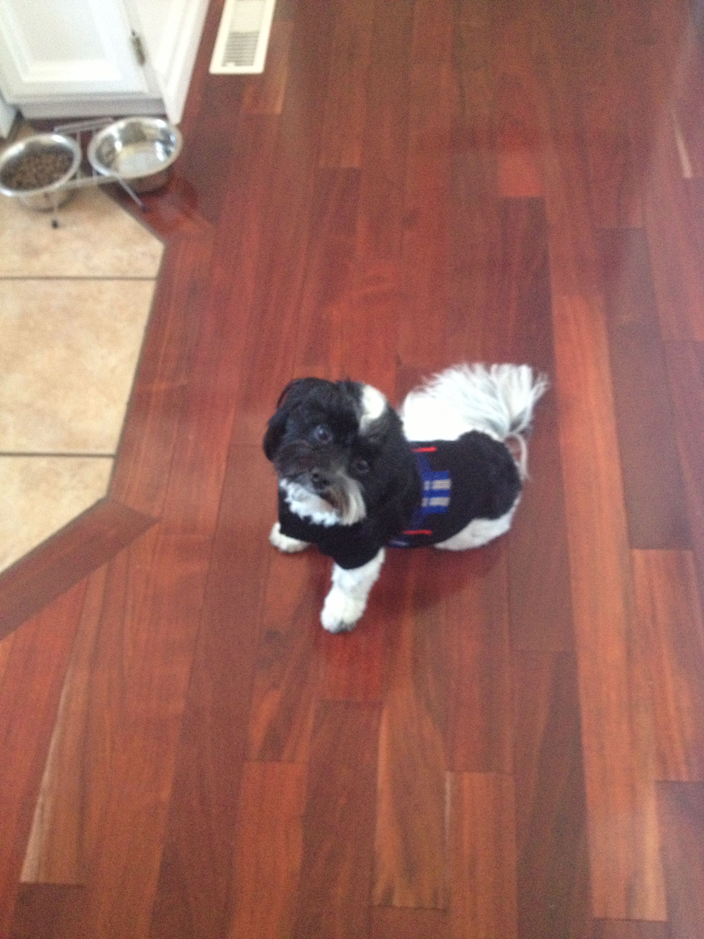 Havanese With Images Havanese Dogs Pets