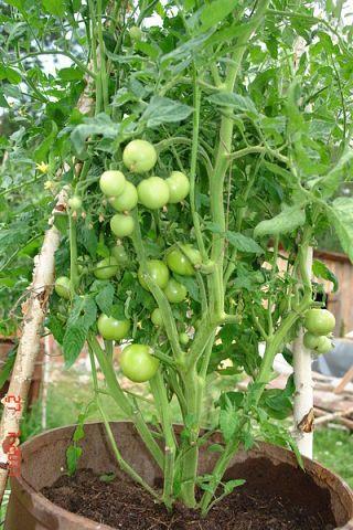 Выращивание картофеля в бочке - техника, советы, видео
