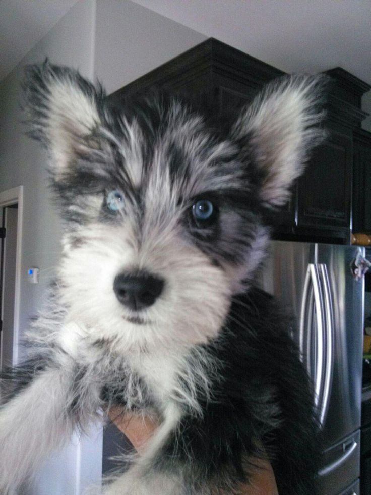 12 Unreal Husky Cross Breeds You Have To See To Believe Mixed Breed Dogs Schnauzer Mix Husky Cross Breeds