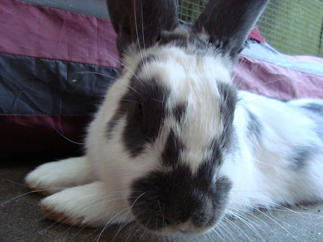Beatrix Rabbit Rescue Rabbit, Adoption, Giant rabbit