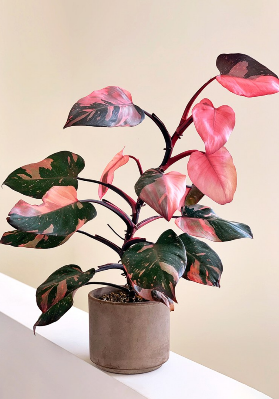 Geigenfeige bis Princess Philodendron: 3 neue Trend-Pflanzen 2020