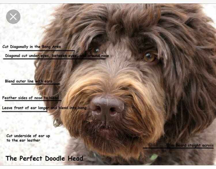 Image result for grooming a doodle face