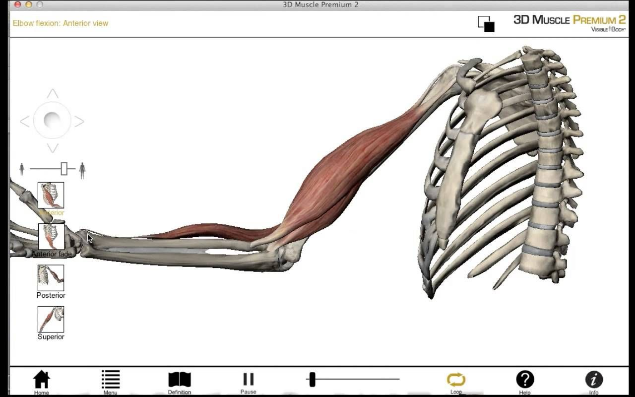 Introduction to Muscle - 3D anatomy tutorial | Kinesiology ...