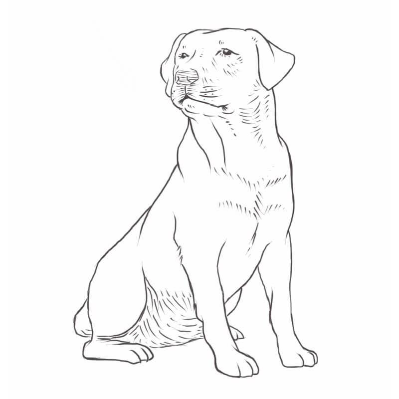 Labrador Retriever The World S Favorite Dog Breed Dog Breeds