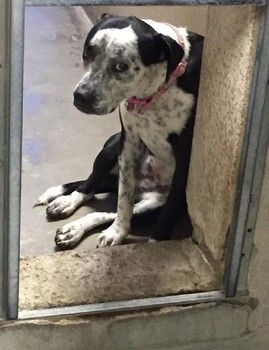 Surrendered dog heartbroken and in danger of being put down -according to the article her name is cookie-ID#A4785211 and at the LA county animal control 661-940-4191