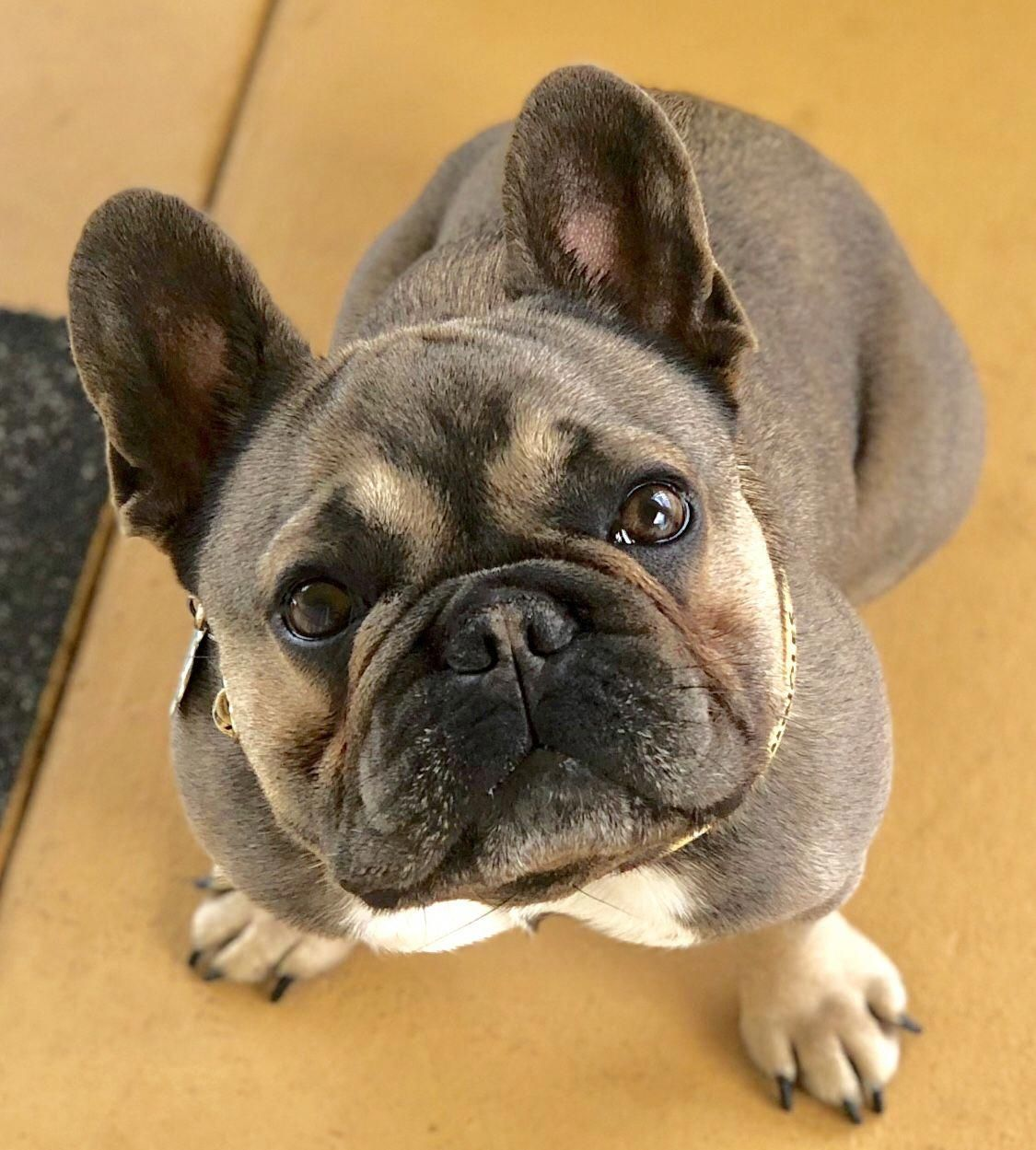 French Bulldog Full Grown Black pug puppies, French