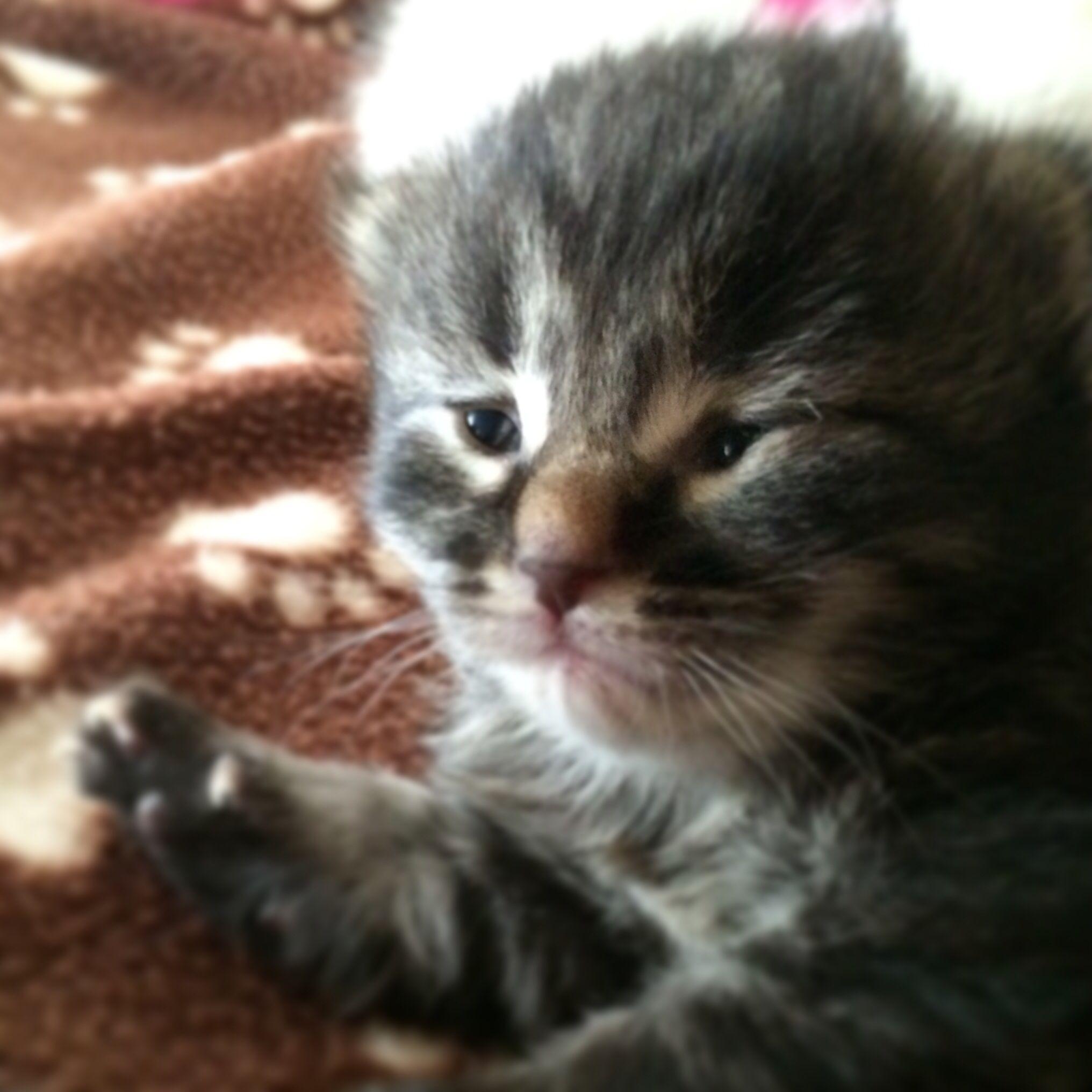 Pin By Megan Watson On Duchess And Kittens Foster Kittens Kitten Humane Society