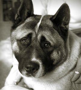Tikihut Akita Rescue Akita Akita Dog Akita Puppies