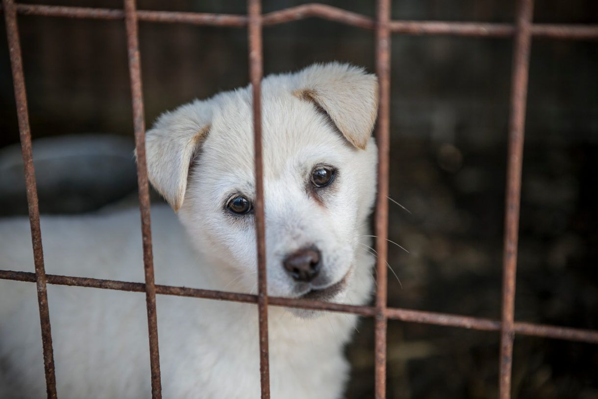 200 more dogs saved from the butcher in South Korea. The dogs, who have spent their lives in filthy, cramped, overcrowded cages, are on their way to the United States, Canada, and the United Kingdom, where they will be rehabilitated and then placed for adoption. Photo by Jean Chung/For HSI