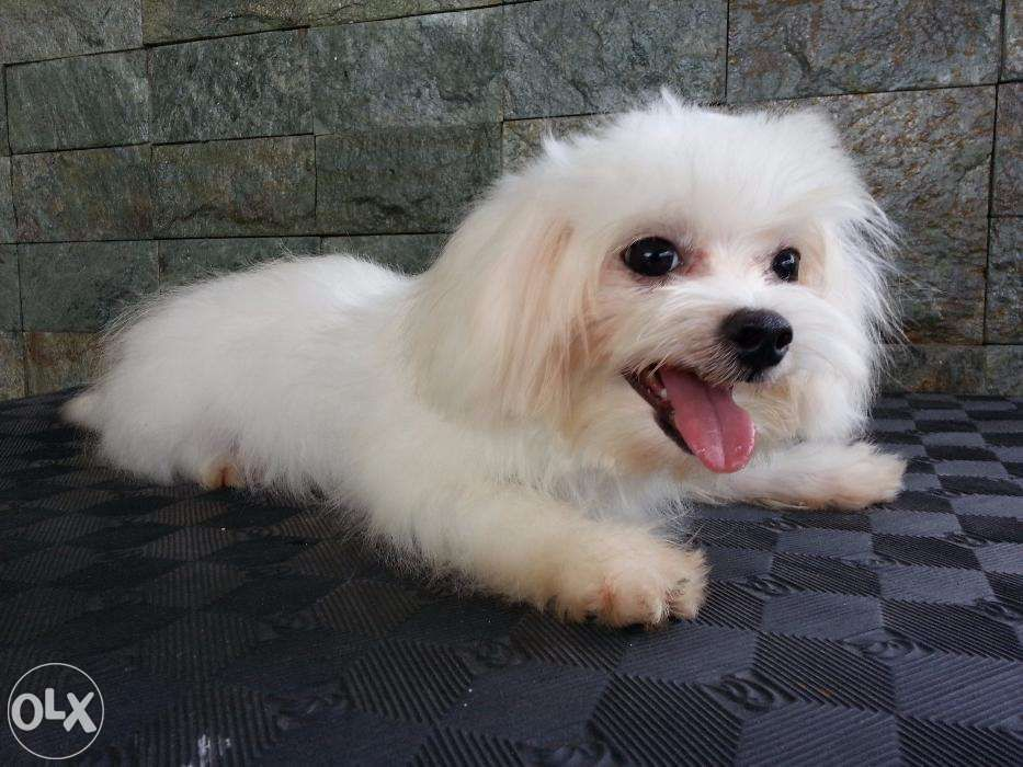 View Male Maltese Small Type For Sale In Pasig On Olx Philippines