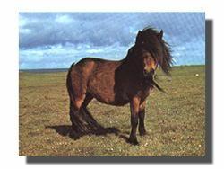 Breed Profile – Shetland Pony