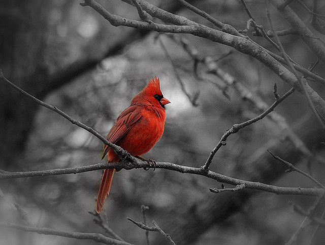 Red cardinal on black and white