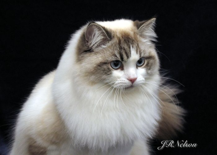 the ragamuffin - the dogs of the cat world. they love to be held like a baby and will completely relax into your arms.they are known to greet their owners at the door when they arrive home