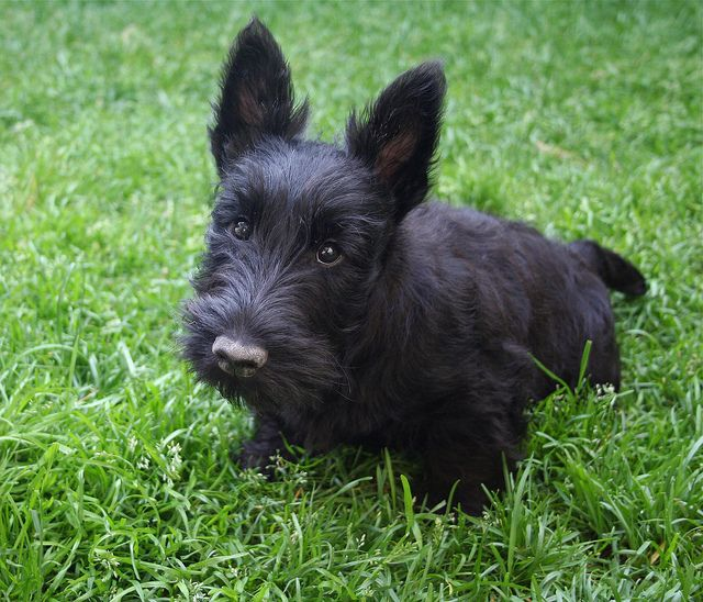 Perhaps Snooki The Scottish Terrier Puppy Scottish Terrier