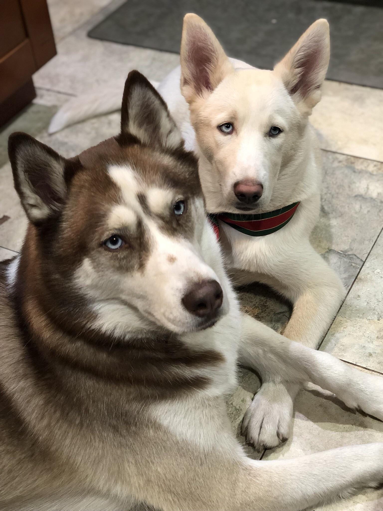Skye And Ivory Siberian Husky Husky Siberian Husky Dog