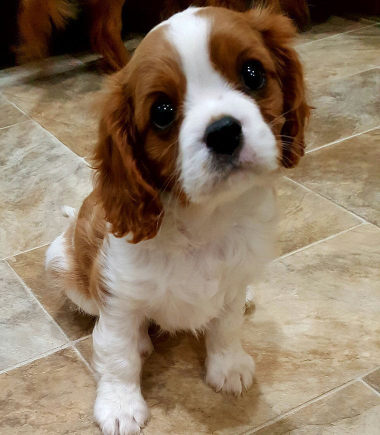 Blenheim Cavalier Puppy King Charles Spaniel Cavalierkingcharlesspanielpupp King Charles Cavalier Spaniel Puppy King Charles Spaniel Cavalier King Charles Dog