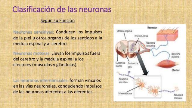 Cuadros comparativos entre las neuronas motoras y sensitivas ...