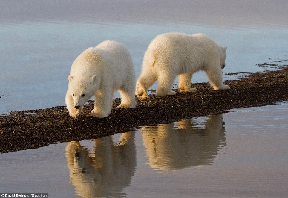 Roaming: The photographer said that viewing bears from a small boat and seeing them at eye-level 'makes a huge difference in the quality of your photographs'