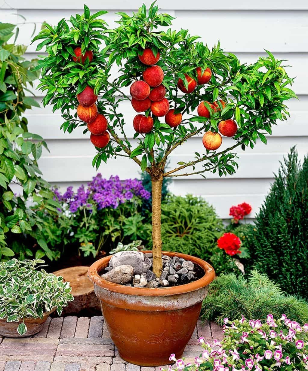 Trees In The Containers Growing Fruit Trees Container Gardening Fruit Dwarf Fruit Trees