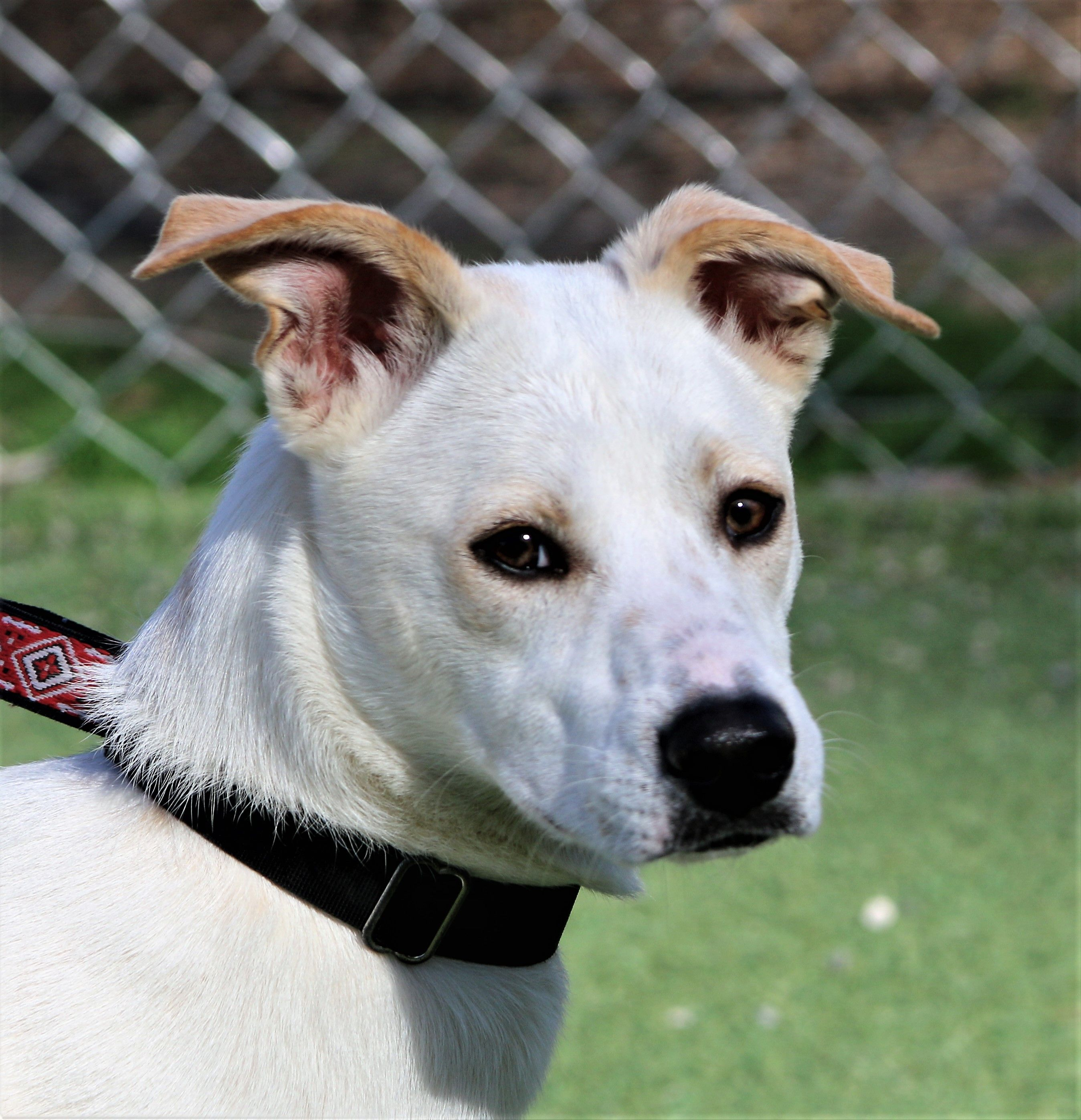 Boxador Dog For Adoption In Asheville Nc Adn 435794 On Puppyfinder Com Gender Female Age Young Dogs For Adoption Dogs Adoption Rescue Dogs