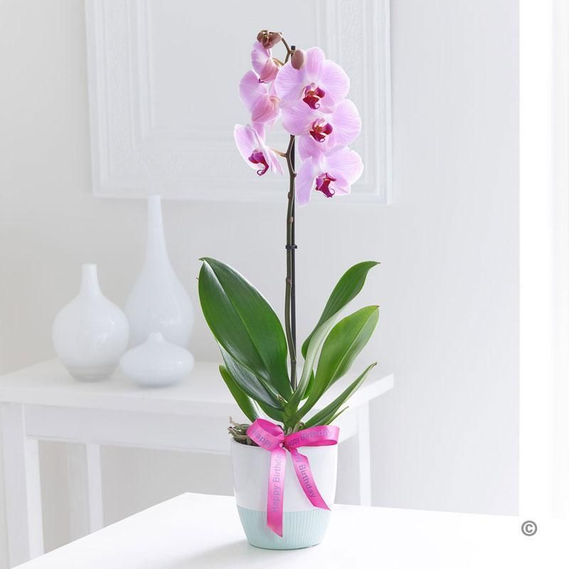Happy Birthday Phalaenopsis Orchid This Divine Single Stem Orchid Is Sleek And Graceful It S The Perfect Choice If Yo Phalaenopsis Orchid Orchids Plant Gifts