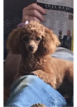 Poodle Toy Puppy For Sale In Archie Mo Adn 71604 On