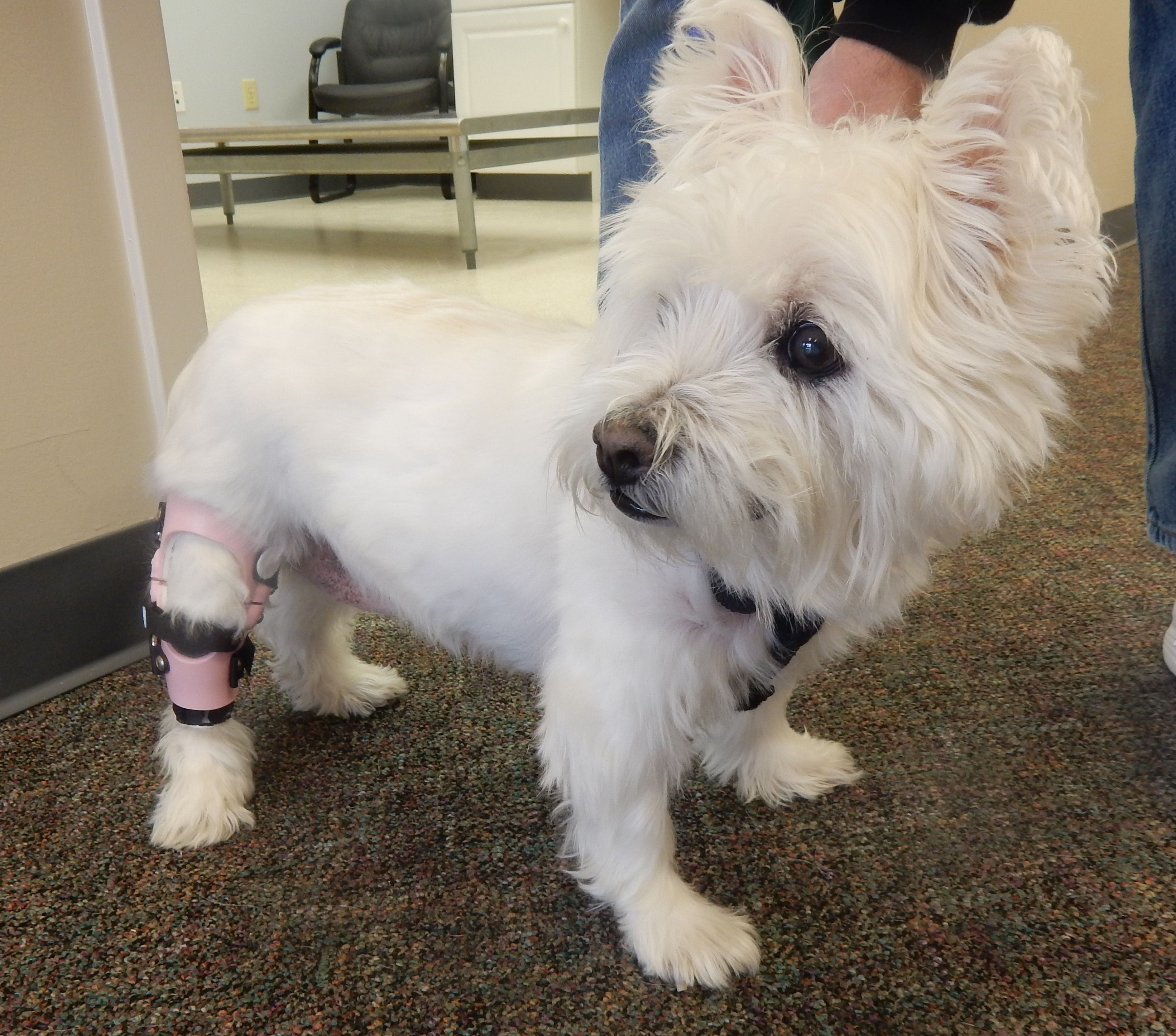 Kayla The Westie Is On Her Way To Recovery From An Acl Injury With