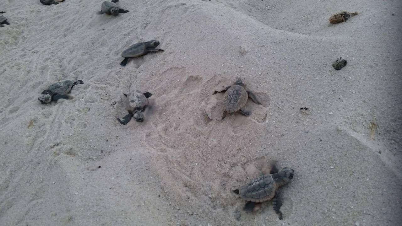 Baby Sea Turtles Hatching On The Beach In Jupiter Fl