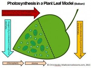 Teach Photosynthesis with a 3D Tree Leaf Model – [free]