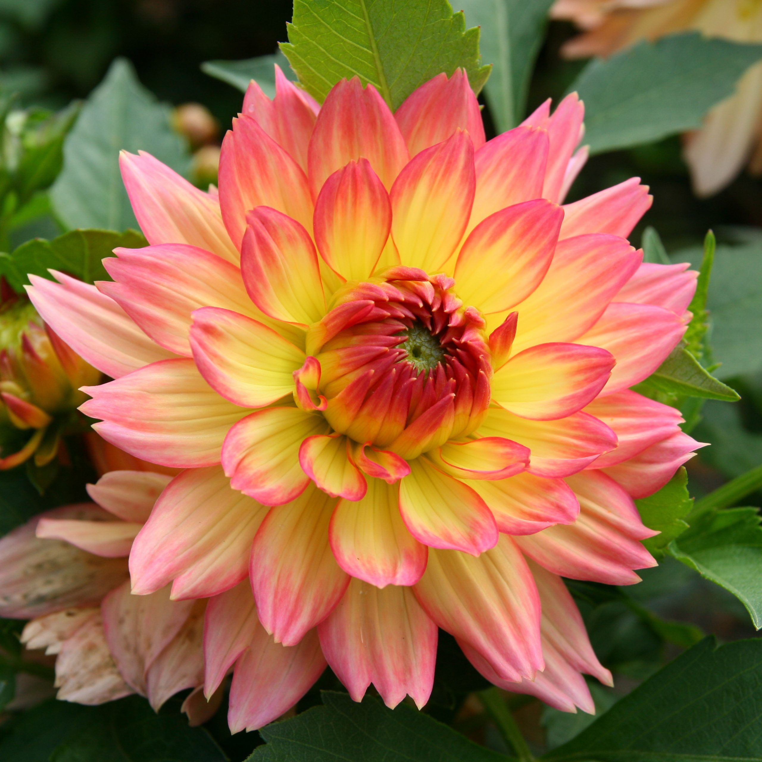 Do You Know How Many People Show Up At Dahlia Flower Name In Sanskrit Dahlia Flower Name In In 2020 Flower Names Dahlia Flower Bonsai Flower