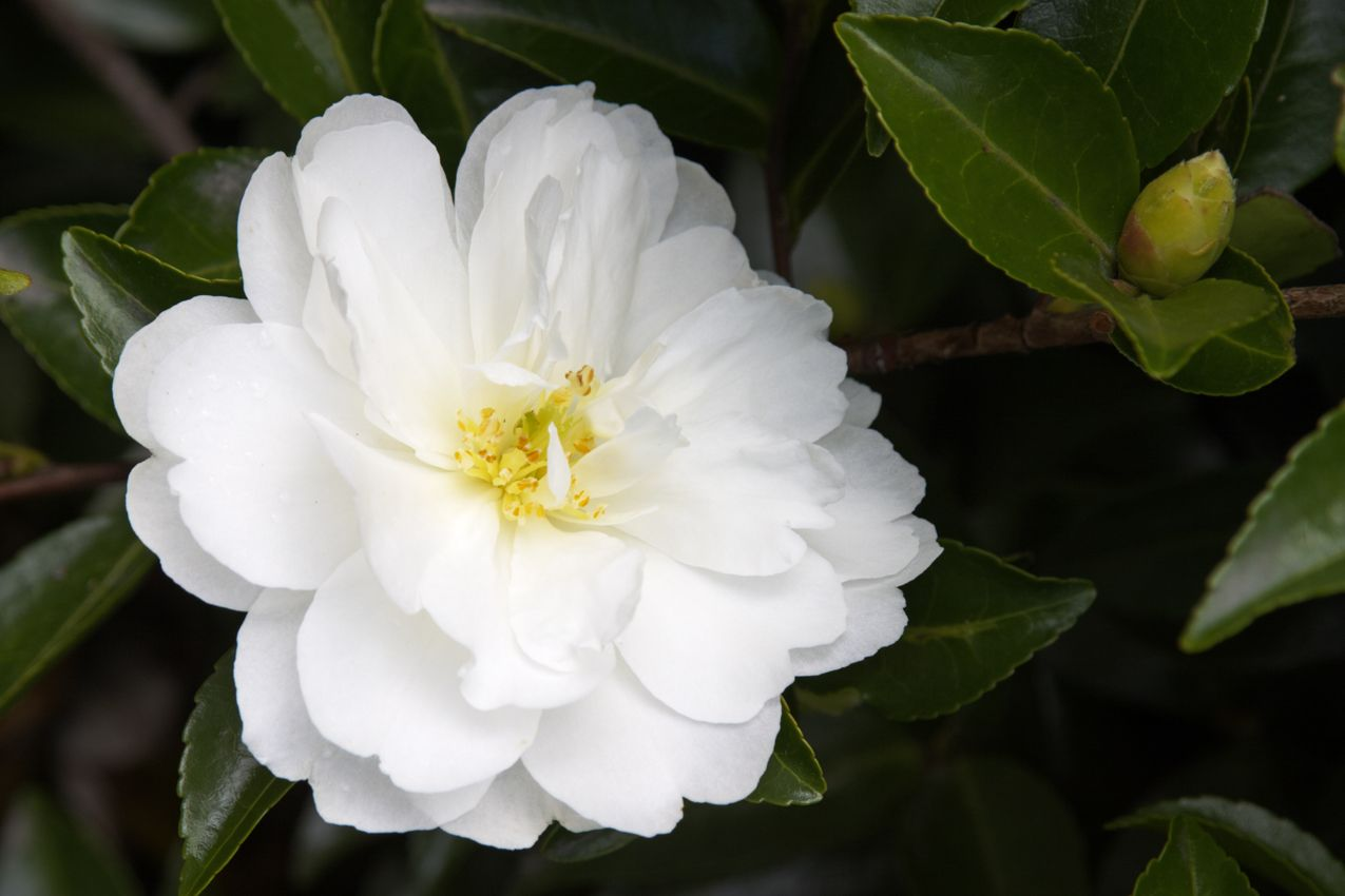 White Doves Camellia -- Sparkling-white, semi-double blooms on a more compact, spreading form. Filtered sun. Mid-season bloomer. Zone: 7 – 10