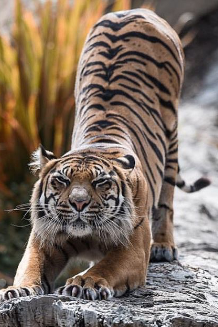 Yoga stretch of a tiger animals are wonderful pinterest
