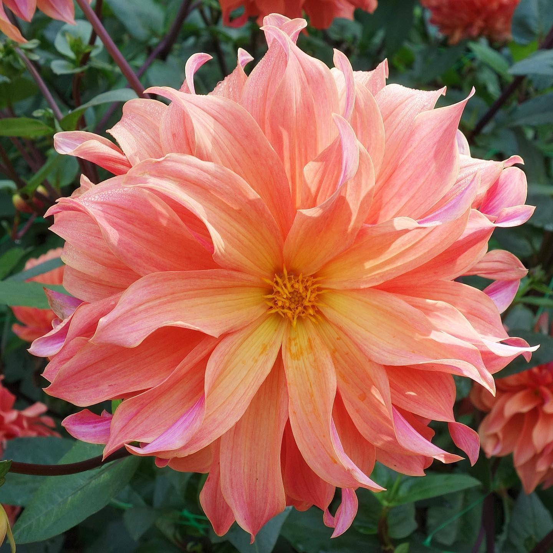 Dalia. #flors #flores #flowers #ig_flors #shin_nature #shin_flors #shin_flores #shin_flowers #ig_flores #ig_nature #ig_flowers #naturaleza #nature #flower_igers #natura #nature #flowerstagram #flowersgram #dalia #dahlia