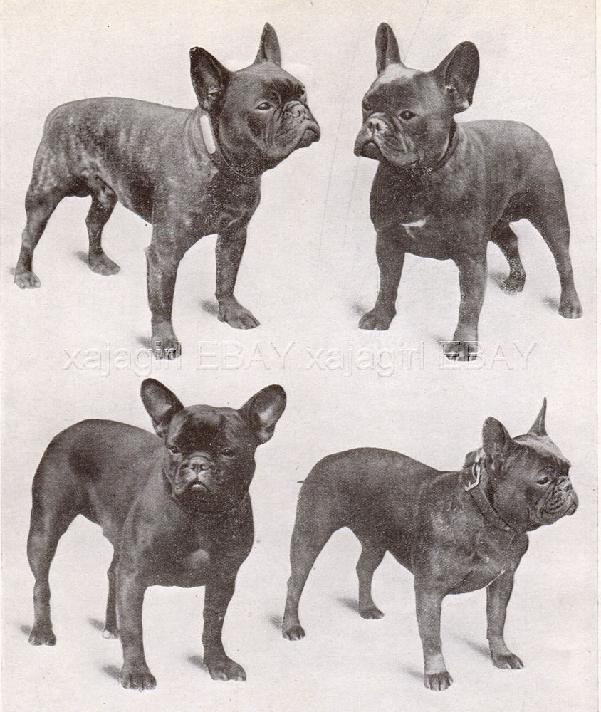 Vintage French Bulldog Bulldog Images Dog Friends French