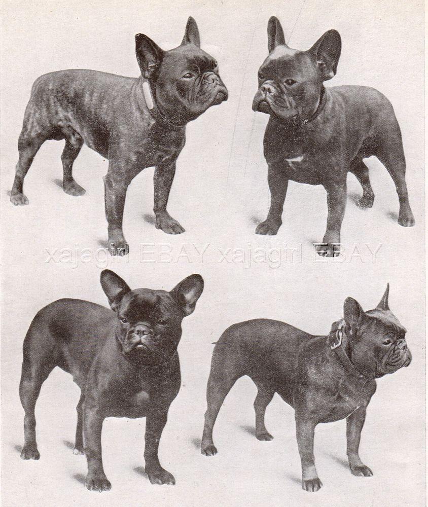 Vintage French Bulldog Bulldog Images Dog Friends French