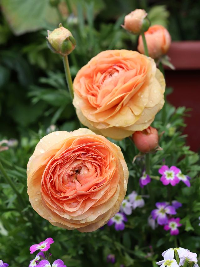 Ranunculus Champagne Buy Online At Annie S Annuals In 2020 With Images Perennial Bulbs Hybrid Tea Roses Lasting Bouquet