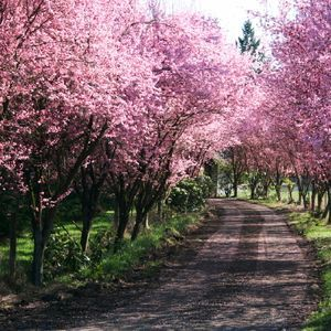 A Lover S Lane Plum Tree Tree Lined Driveway Flowering Trees