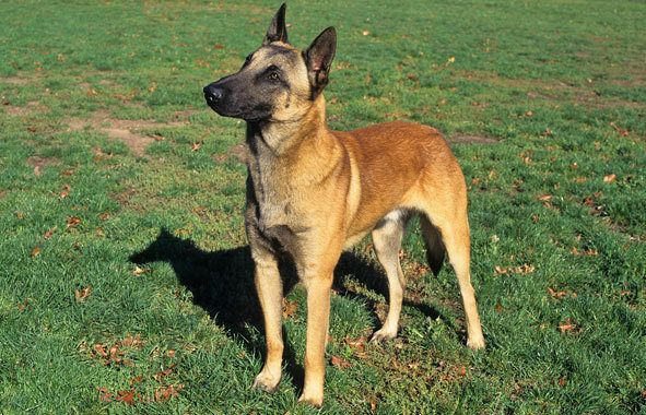 Belgian Malinois Breed Information...for all who need