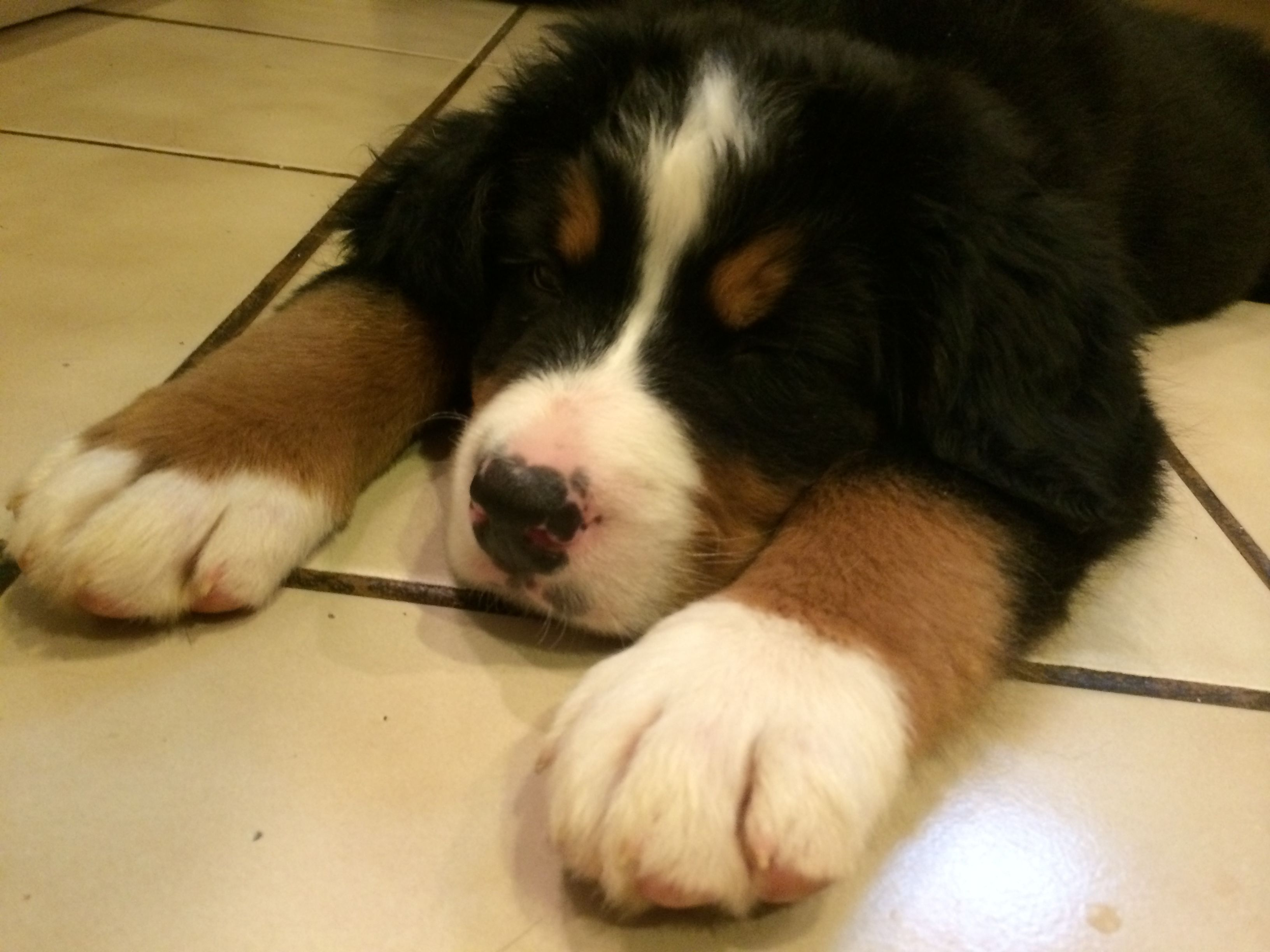 Cosmo S First Day Home With Us Bernese Mountain Dog