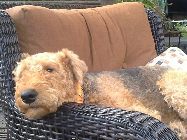 Otto in his happy place:) . #Terriers #Airedales